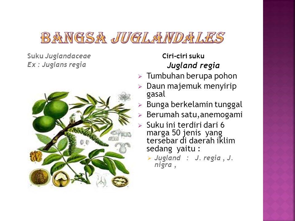 Bangsa Juglandales Jugland regia Tumbuhan berupa pohon