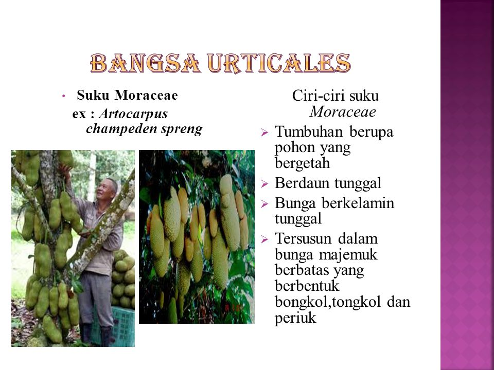ex : Artocarpus champeden spreng