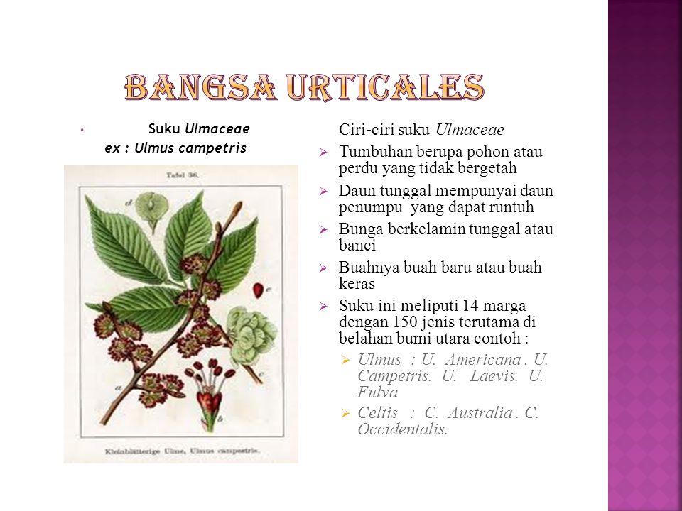 Bangsa Urticales Tumbuhan berupa pohon atau perdu yang tidak bergetah