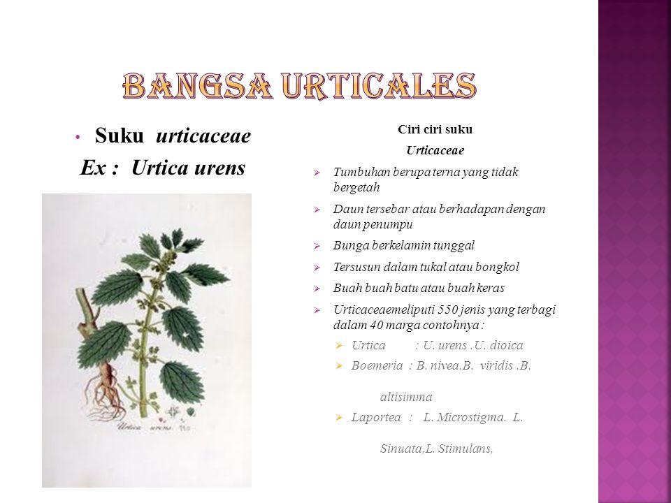 Bangsa Urticales Suku urticaceae Ex : Urtica urens Ciri ciri suku
