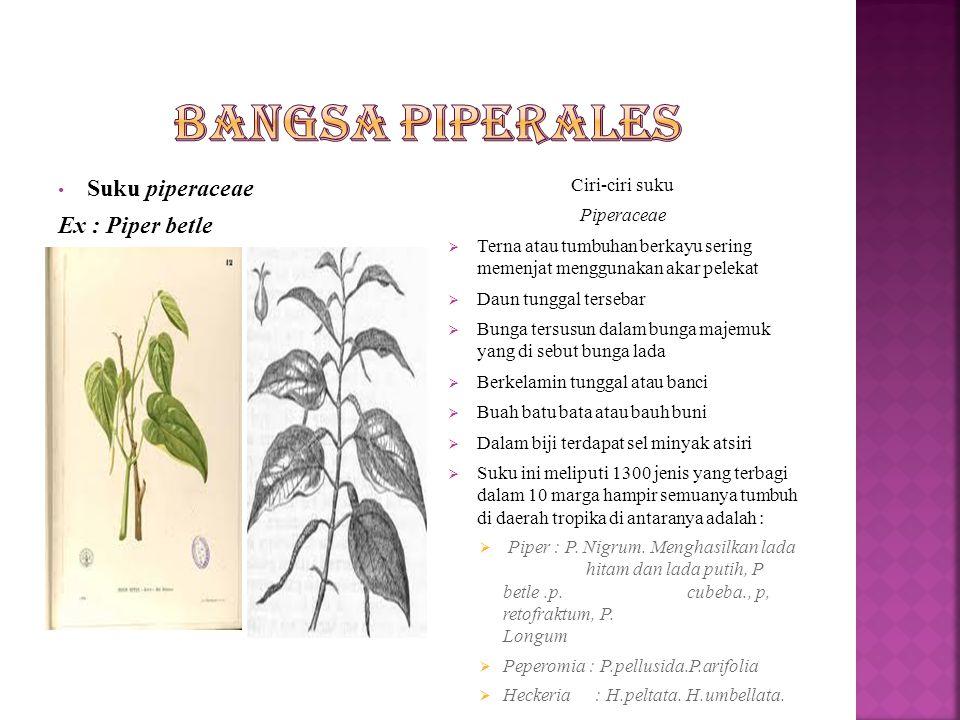Bangsa Piperales Suku piperaceae Ex : Piper betle Ciri-ciri suku