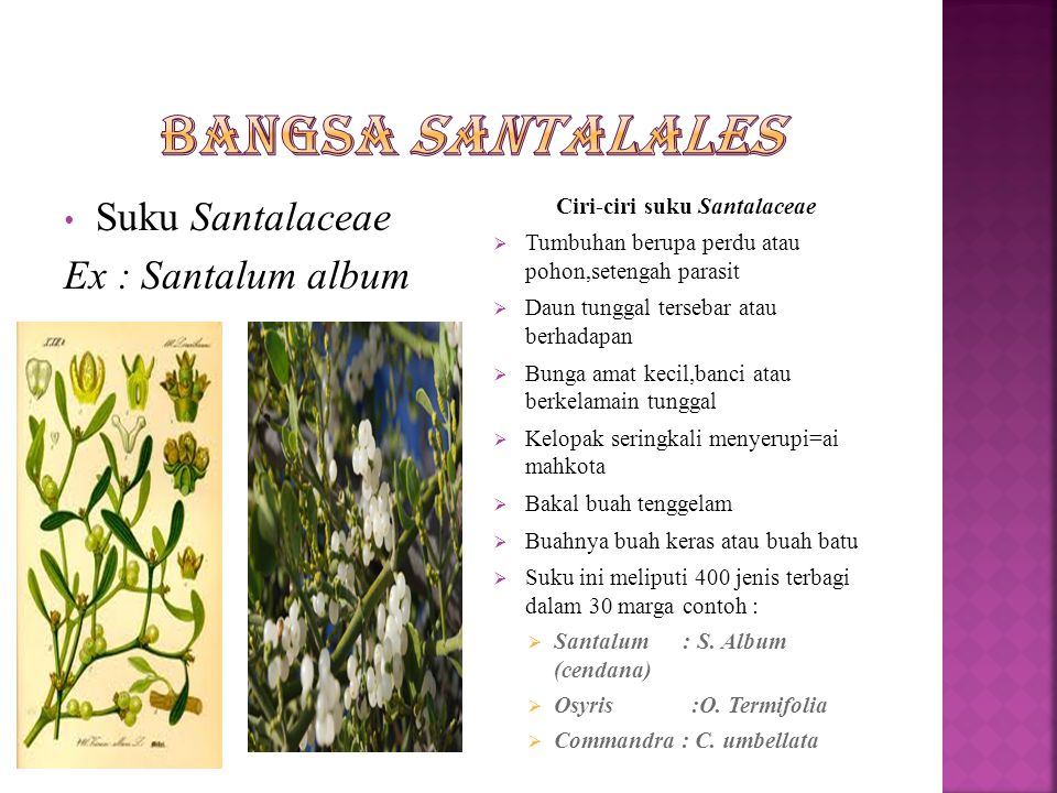 Ciri-ciri suku Santalaceae