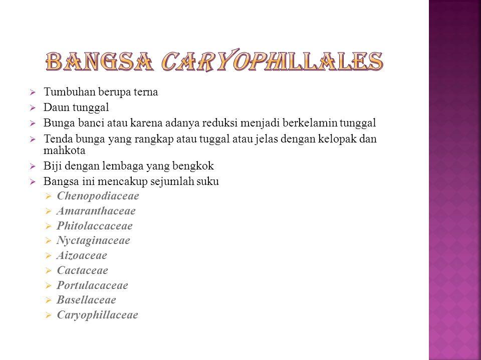 Bangsa Caryophillales
