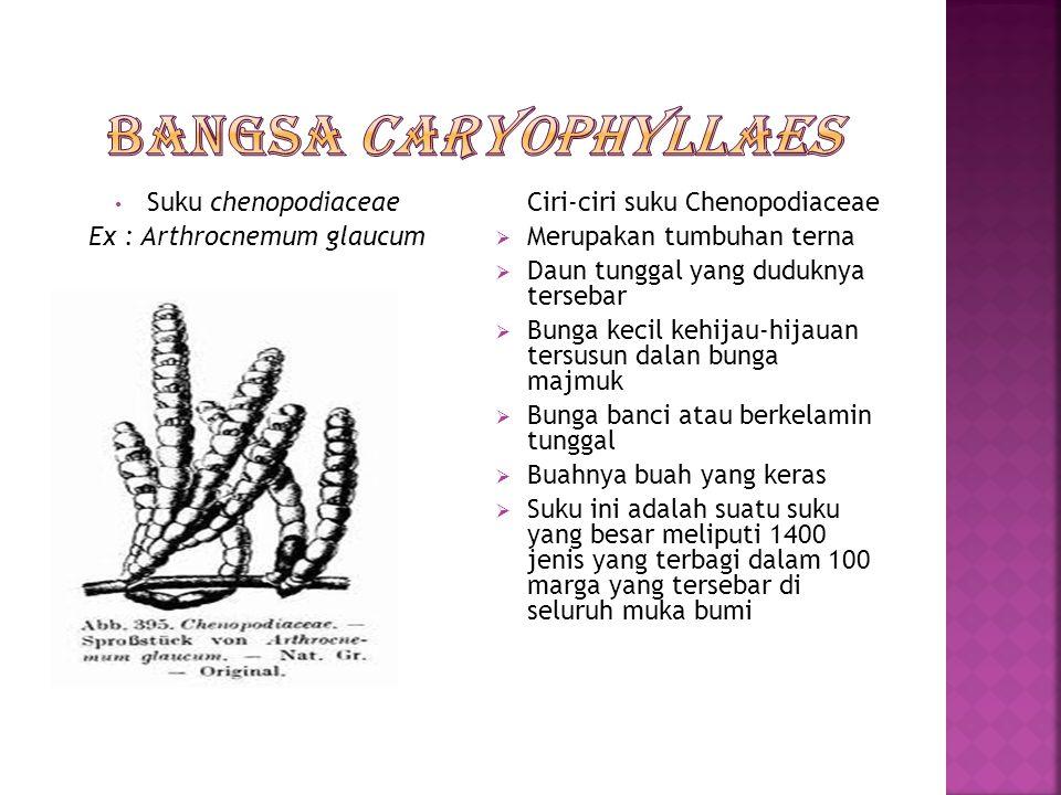 Ex : Arthrocnemum glaucum
