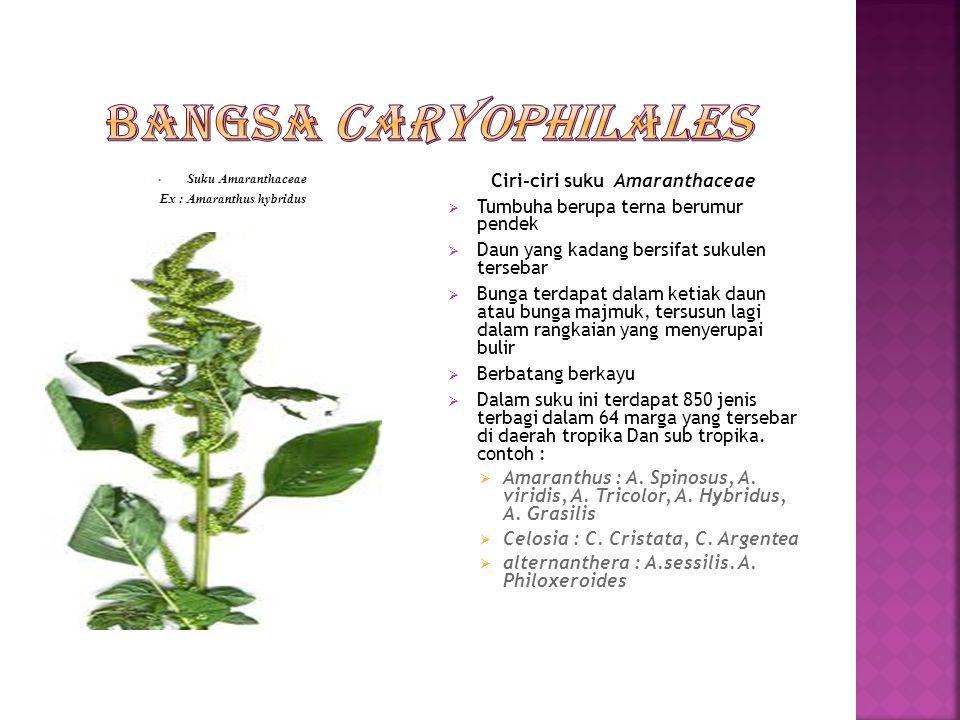 Ex : Amaranthus hybridus Ciri-ciri suku Amaranthaceae