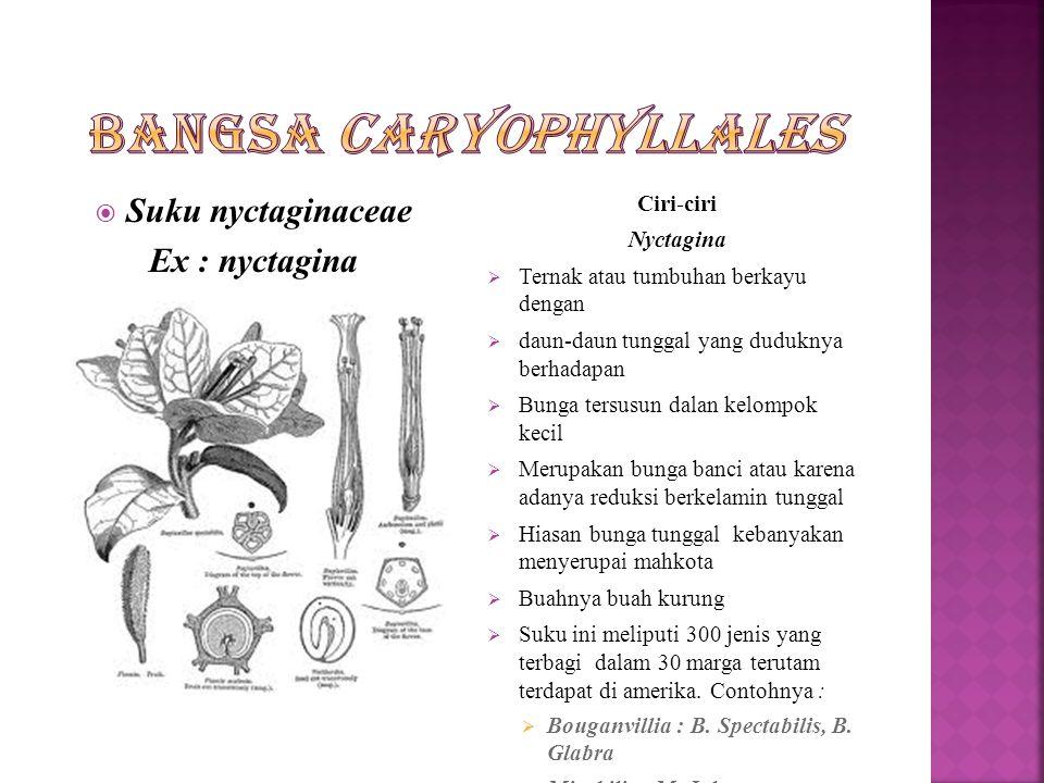 Bangsa Caryophyllales