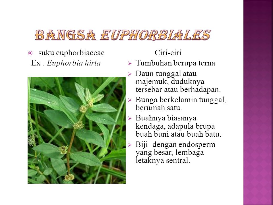 Bangsa Euphorbiales suku euphorbiaceae Ex : Euphorbia hirta Ciri-ciri