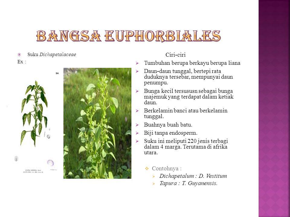 Bangsa Euphorbiales Tumbuhan berupa berkayu berupa liana