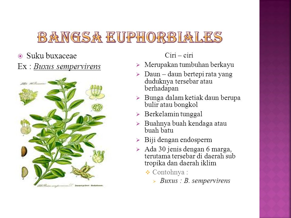 Bangsa euphorbiales Suku buxaceae Ex : Buxus sempervirens Ciri – ciri
