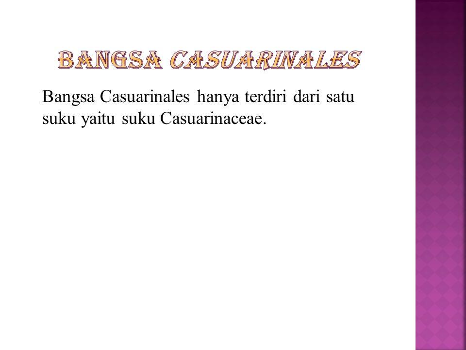 Bangsa Casuarinales Bangsa Casuarinales hanya terdiri dari satu suku yaitu suku Casuarinaceae.