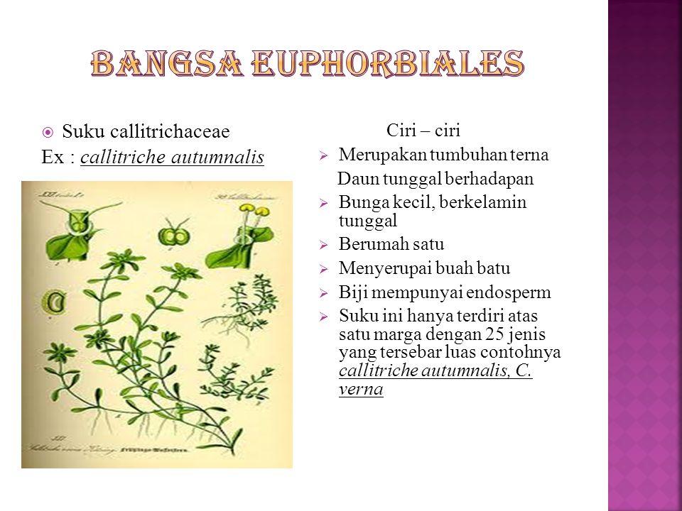 Bangsa euphorbiales Suku callitrichaceae Ex : callitriche autumnalis