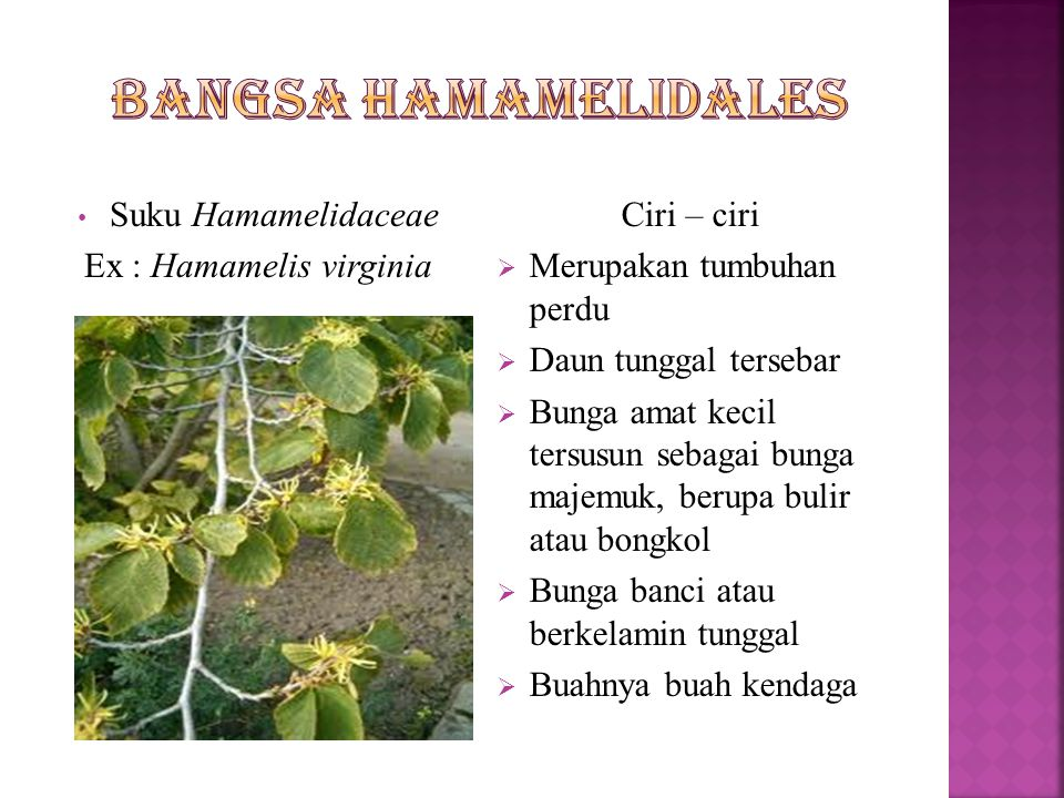 Ex : Hamamelis virginia