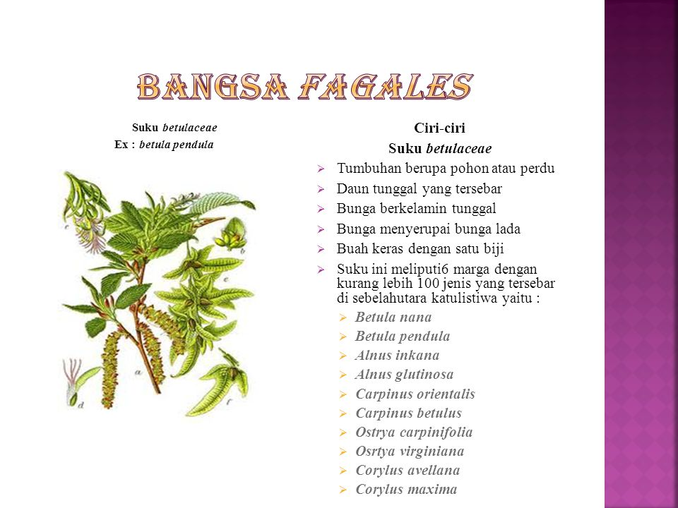 Bangsa fagales Ciri-ciri Suku betulaceae