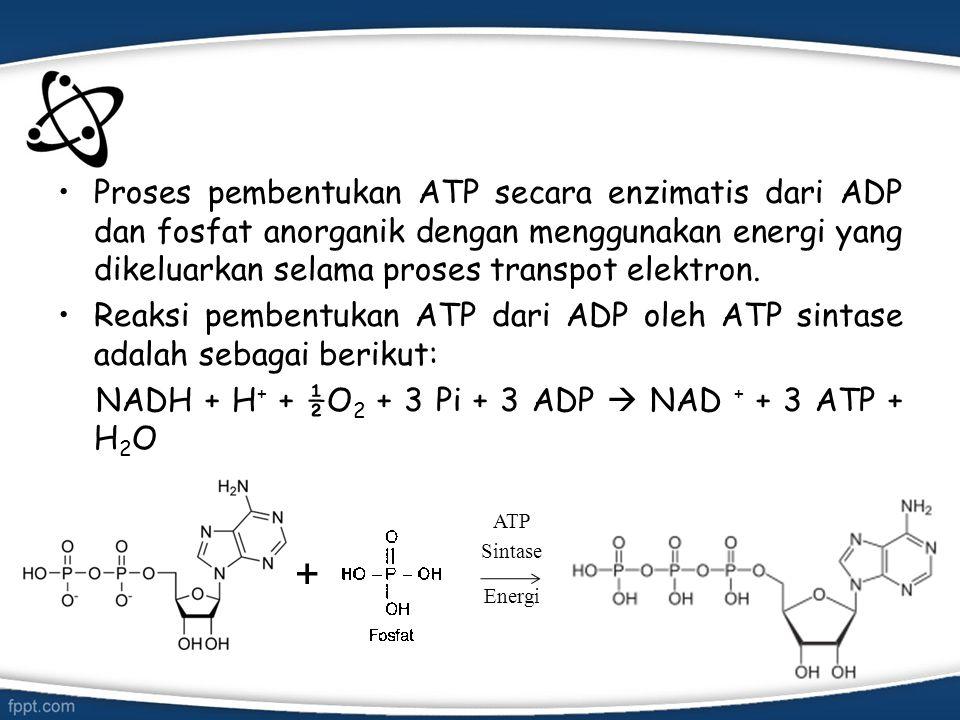 Proses pembentukan ATP secara enzimatis dari ADP dan fosfat anorganik dengan menggunakan energi yang dikeluarkan selama proses transpot elektron.
