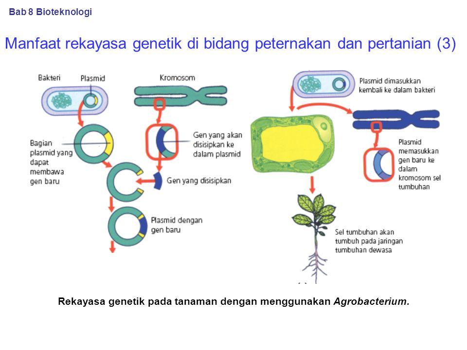 Rekayasa genetik pada tanaman dengan menggunakan Agrobacterium.