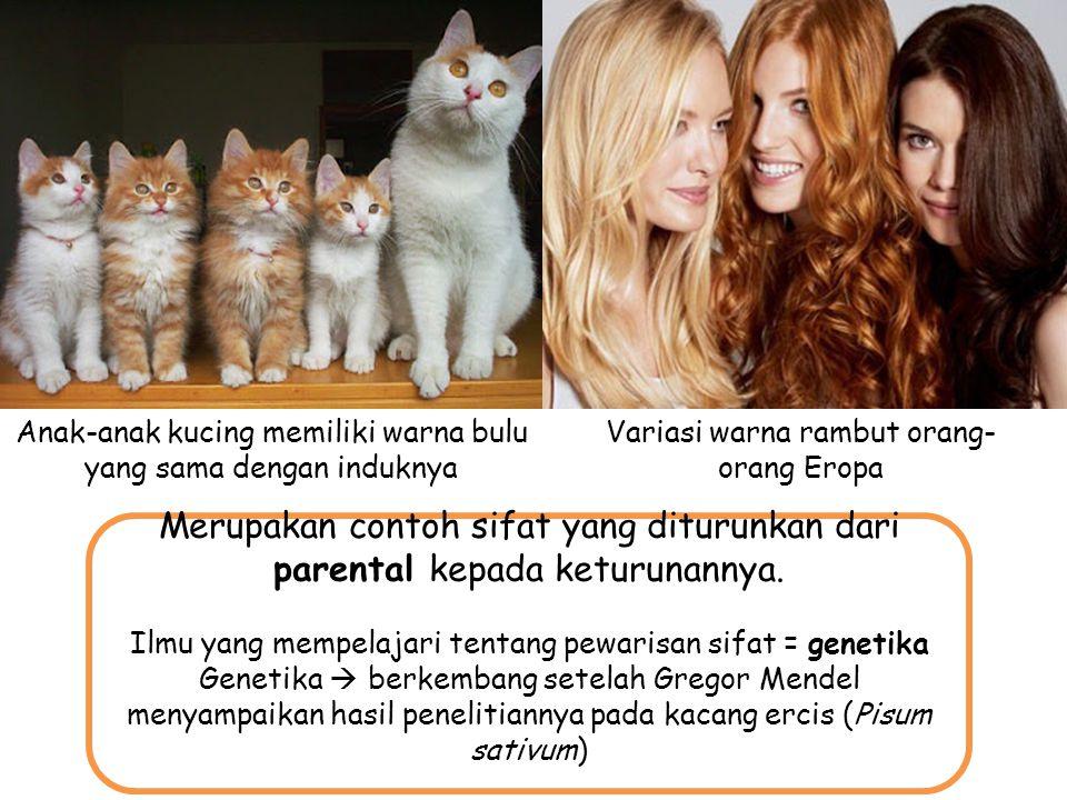 v Anak-anak kucing memiliki warna bulu yang sama dengan induknya. Variasi warna rambut orang-orang Eropa.