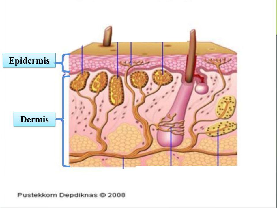 c c c c c c Epidermis Dermis c c