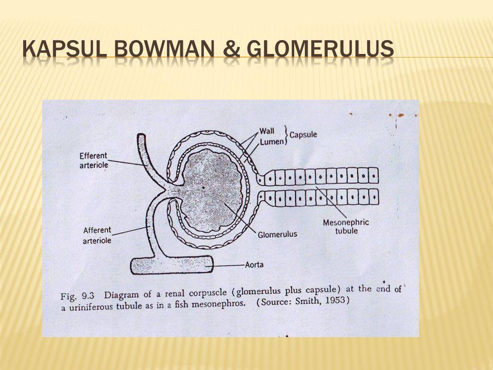 Kapsul bowman & glomerulus