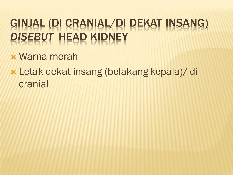 Ginjal (di cranial/di dekat insang) disebut head kidney