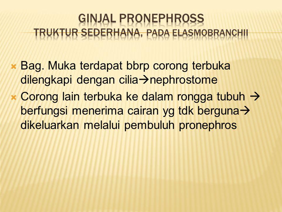 Ginjal PronephrosS truktur sederhana, Pada elasmobranchii