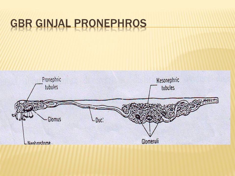 Gbr ginjal pronephros