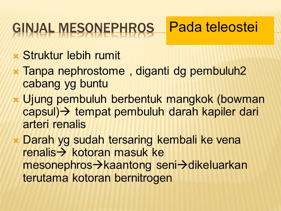 Ginjal Mesonephros Pada teleostei Struktur lebih rumit