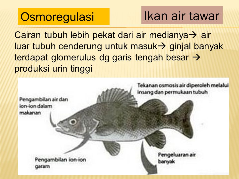 Ikan air tawar Osmoregulasi