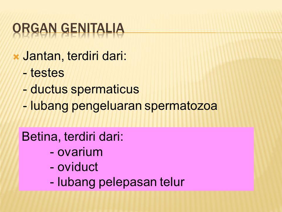 Organ genitalia Jantan, terdiri dari: - testes - ductus spermaticus