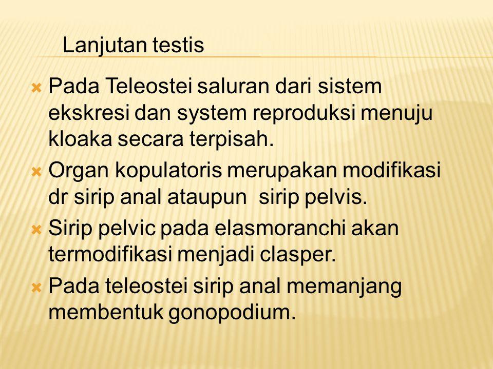 Lanjutan testis Pada Teleostei saluran dari sistem ekskresi dan system reproduksi menuju kloaka secara terpisah.