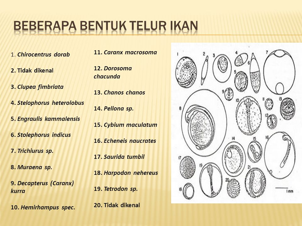 Beberapa Bentuk telur ikan