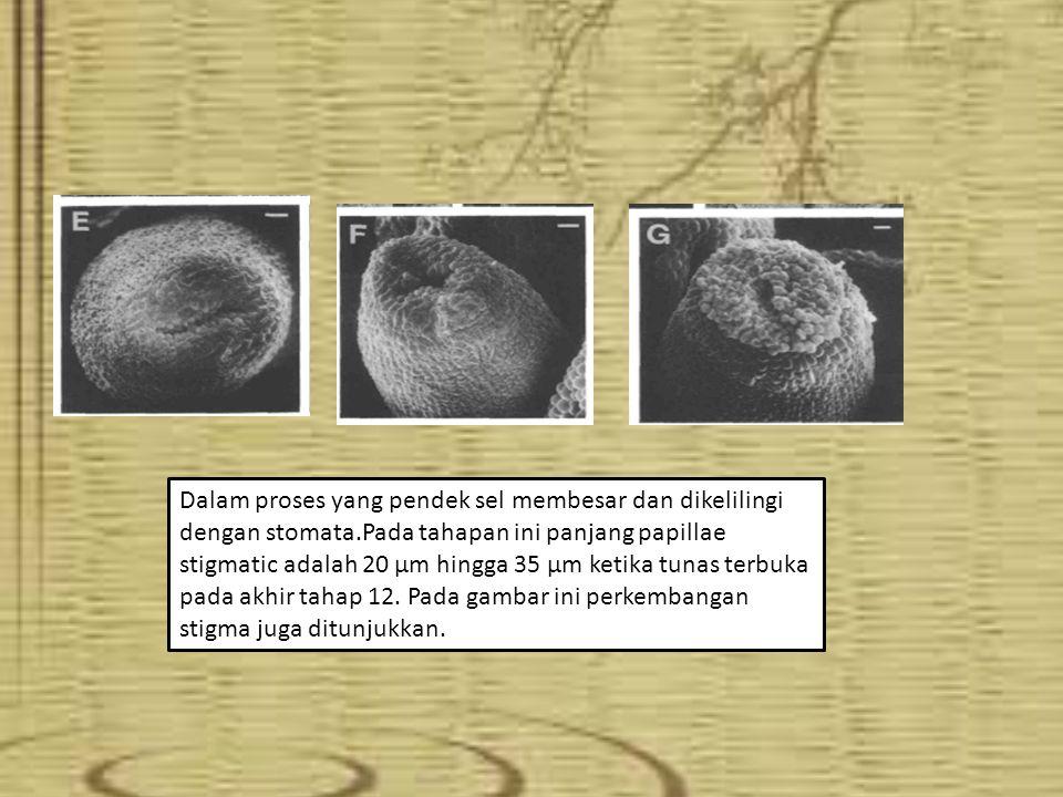 Dalam proses yang pendek sel membesar dan dikelilingi dengan stomata