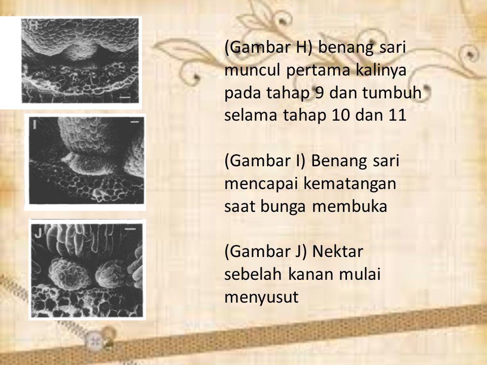 (Gambar H) benang sari muncul pertama kalinya pada tahap 9 dan tumbuh selama tahap 10 dan 11
