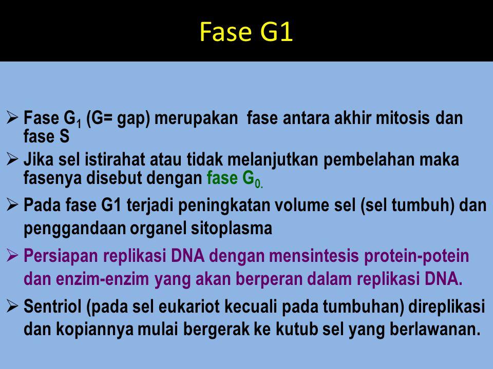 Fase G1 Fase G1 (G= gap) merupakan fase antara akhir mitosis dan fase S.