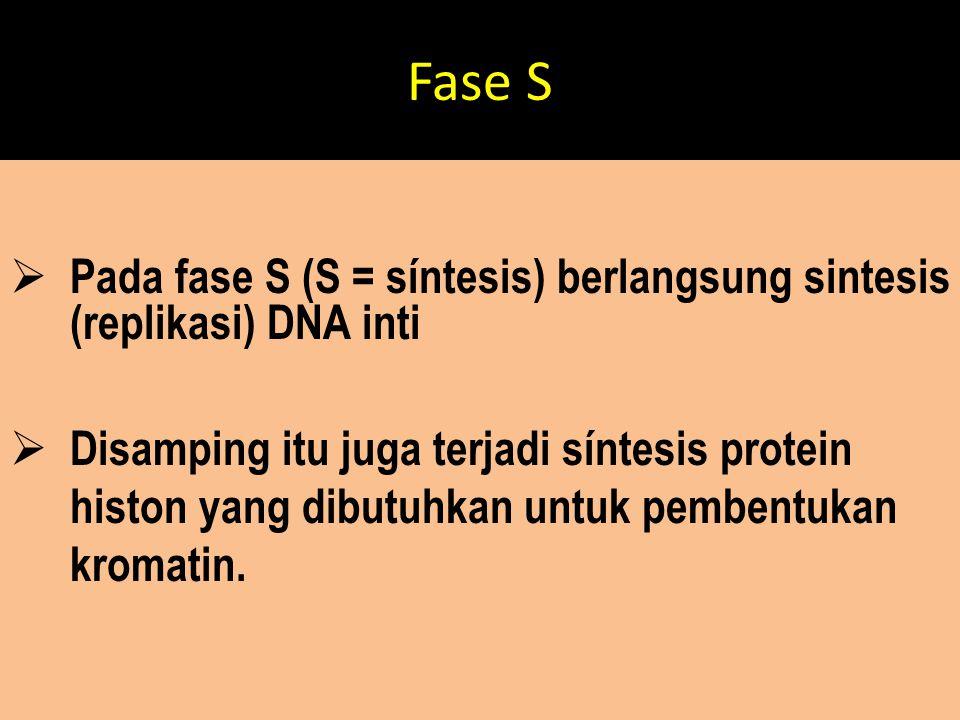 Fase S Pada fase S (S = síntesis) berlangsung sintesis (replikasi) DNA inti.