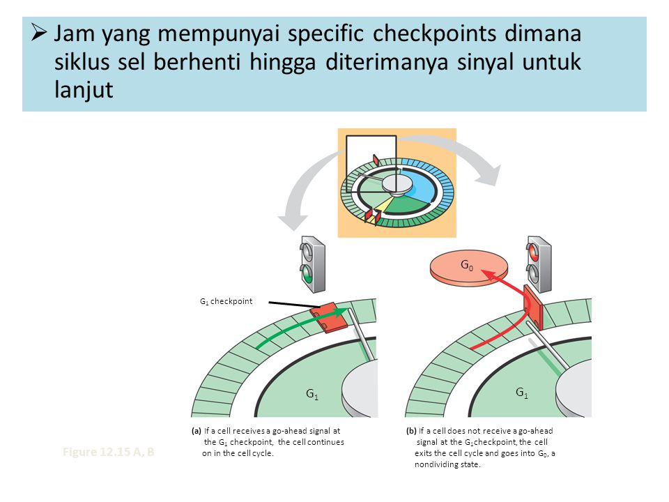 Jam yang mempunyai specific checkpoints dimana siklus sel berhenti hingga diterimanya sinyal untuk lanjut