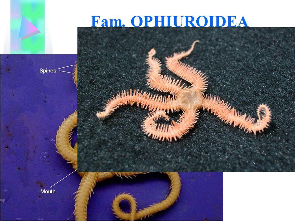 Fam. OPHIUROIDEA