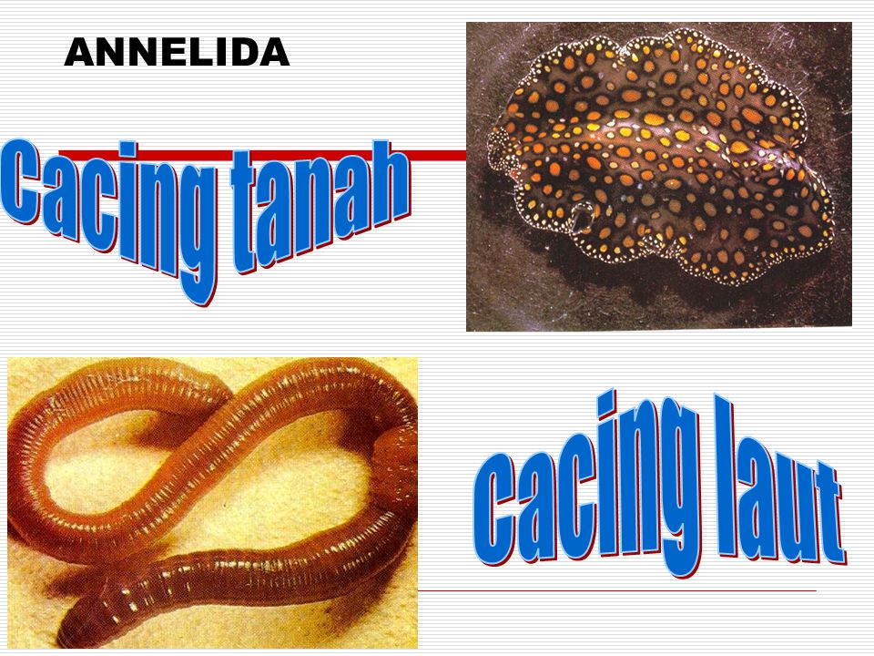 ANNELIDA Cacing tanah Cacing laut