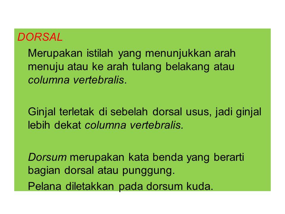 DORSAL Merupakan istilah yang menunjukkan arah menuju atau ke arah tulang belakang atau columna vertebralis.