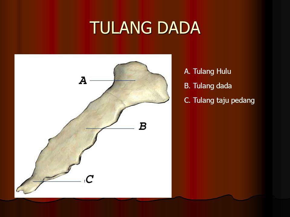 TULANG DADA A. Tulang Hulu B. Tulang dada C. Tulang taju pedang