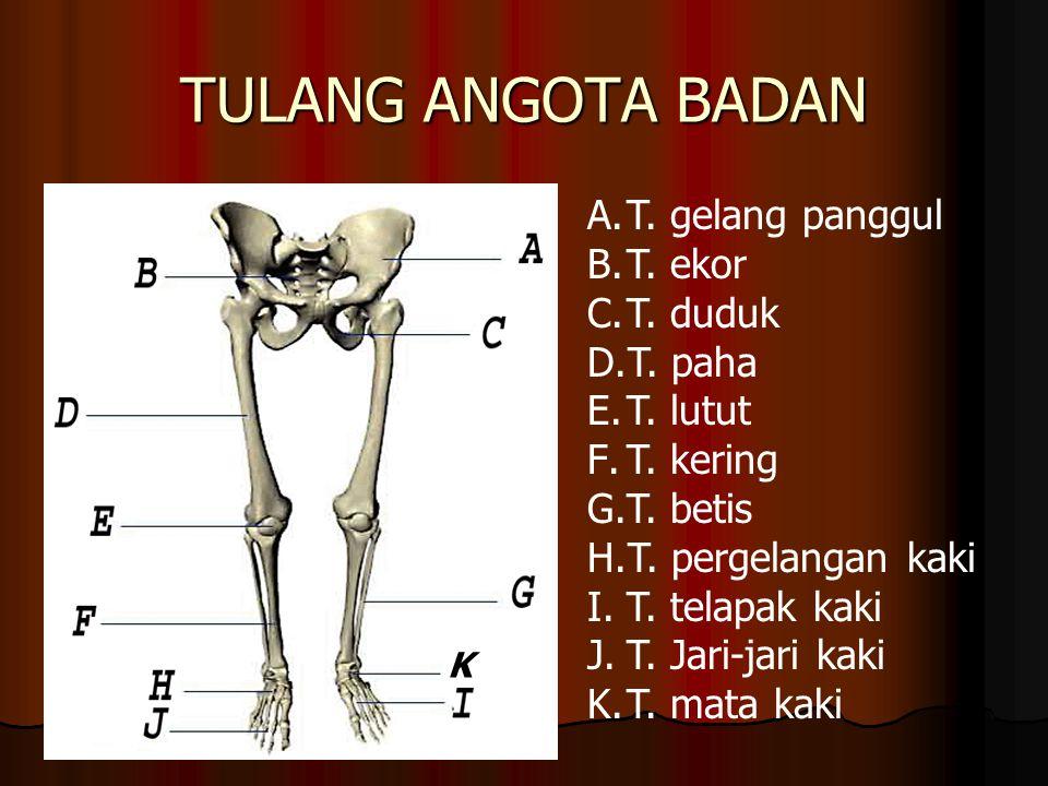 TULANG ANGOTA BADAN T. gelang panggul T. ekor T. duduk T. paha