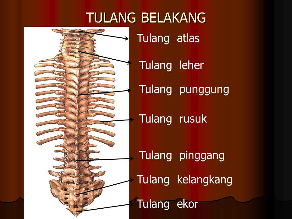 TULANG BELAKANG Tulang atlas Tulang leher Tulang punggung Tulang rusuk
