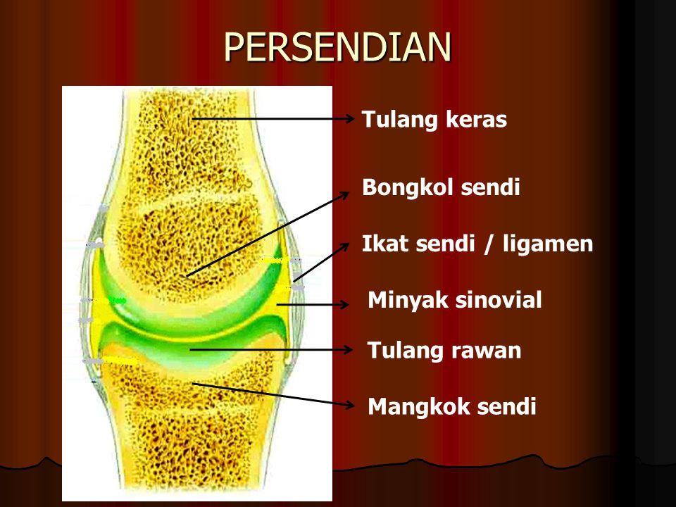 PERSENDIAN Tulang keras Bongkol sendi Ikat sendi / ligamen