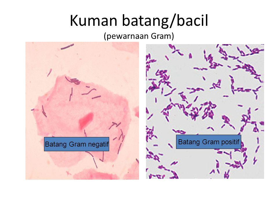 Kuman batang/bacil (pewarnaan Gram)