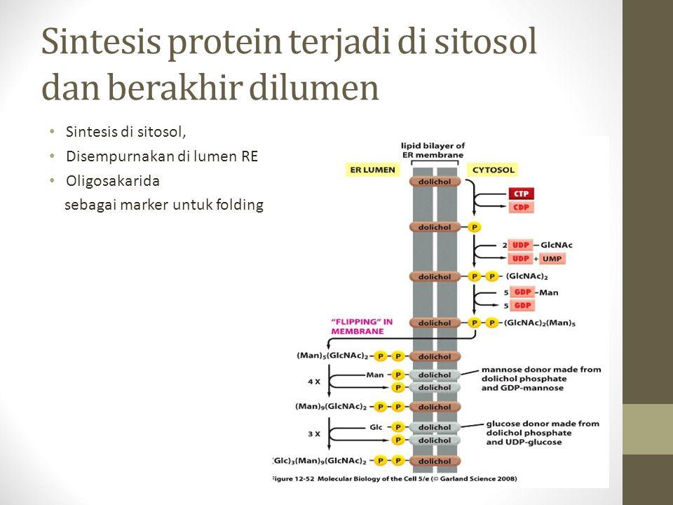 Sintesis protein terjadi di sitosol dan berakhir dilumen