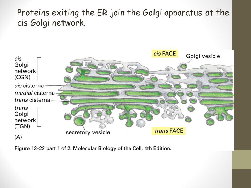 Proteins exiting the ER join the Golgi apparatus at the cis Golgi network.