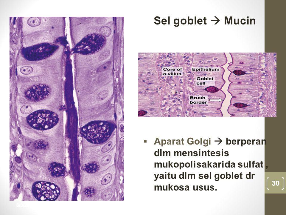 Sel goblet  Mucin Aparat Golgi  berperan dlm mensintesis mukopolisakarida sulfat , yaitu dlm sel goblet dr mukosa usus.