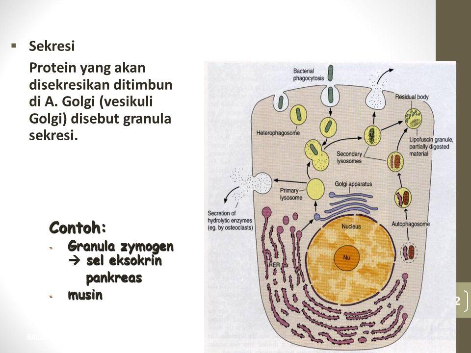 Sekresi Protein yang akan disekresikan ditimbun di A. Golgi (vesikuli Golgi) disebut granula sekresi.