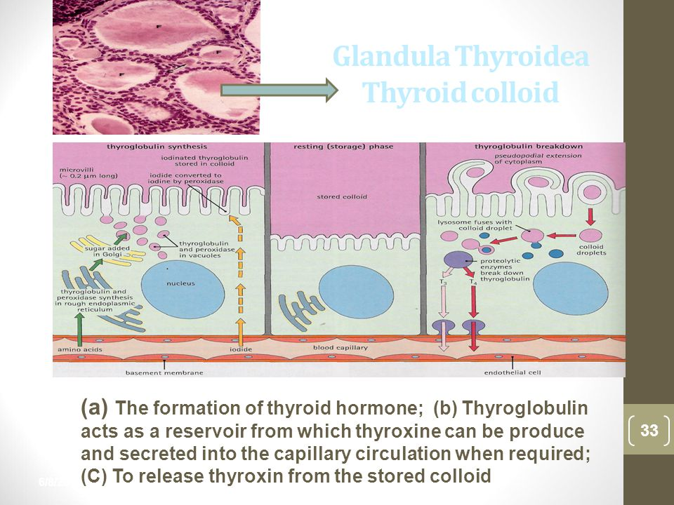 Glandula Thyroidea Thyroid colloid