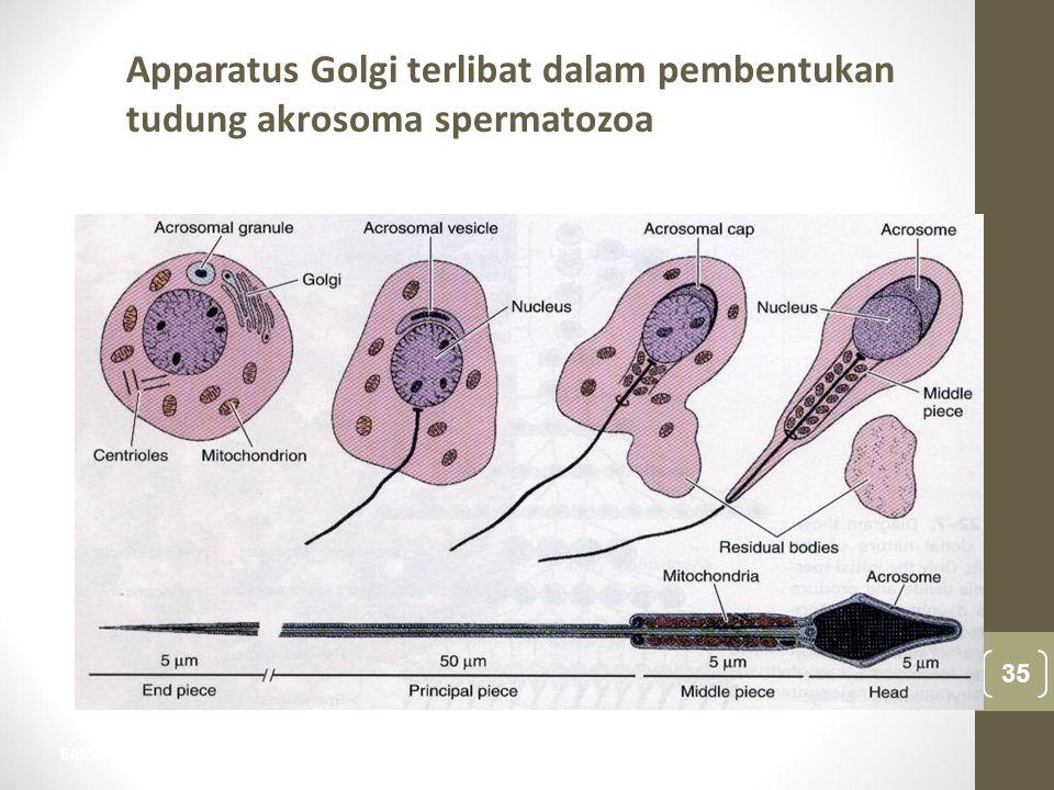 Apparatus Golgi terlibat dalam pembentukan tudung akrosoma spermatozoa