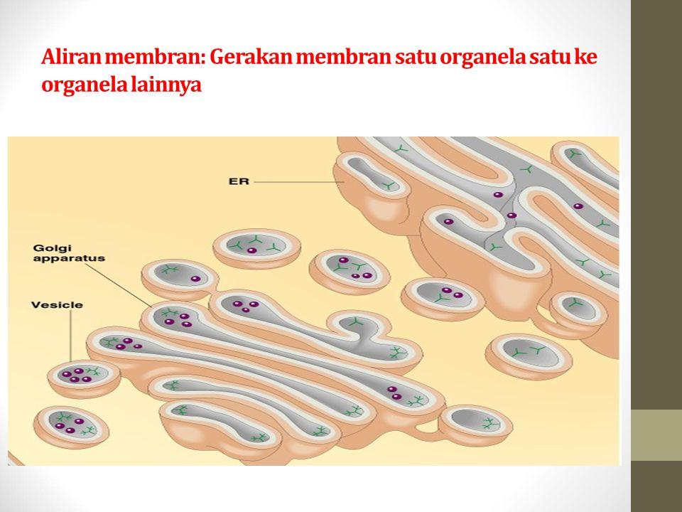 Aliran membran: Gerakan membran satu organela satu ke organela lainnya